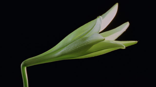 t/l, cu, single white lily opening against black background - single object stock videos & royalty-free footage