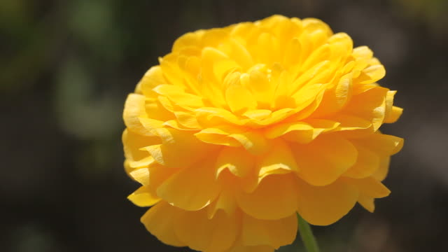 Single Yellow Ranunculus Flower Swinging in Wind