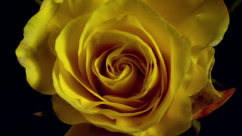 t/l, ecu, single yellow rose opening - emergence stock videos & royalty-free footage