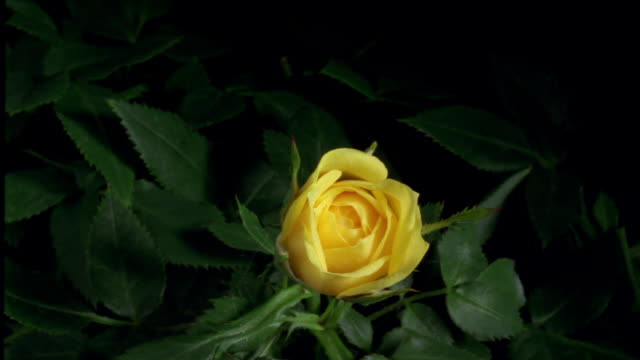 t/l, cu, single yellow rose opening - 40 o più secondi video stock e b–roll