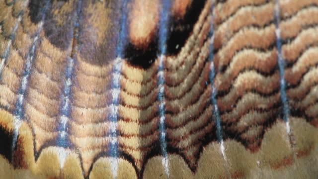 sino-korean owl moth (brahmaea certhia) - animal wing stock videos & royalty-free footage