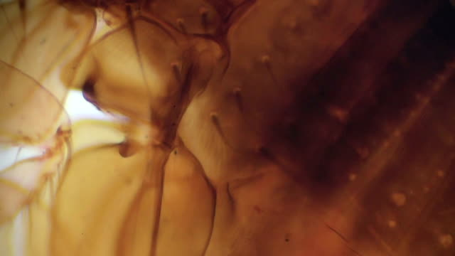 siphonaptera flea under light microscopy - flea insect stock videos and b-roll footage