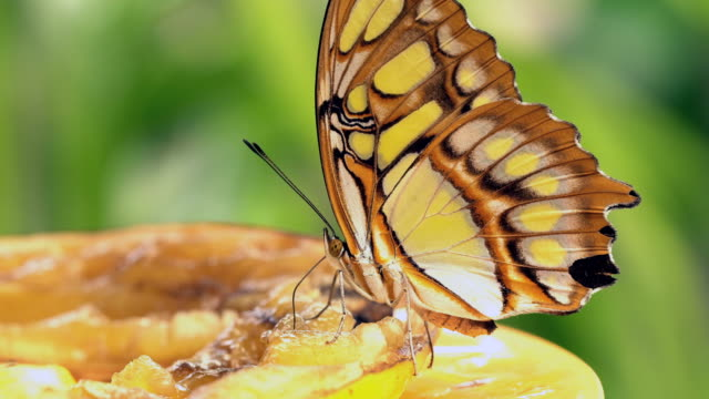 Siproeta stelenes  - Malachite butterfly feeding on fruit