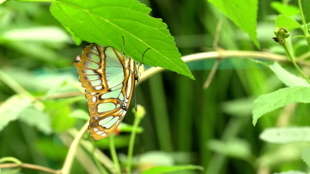 Siproeta stelenes  - Malachite butterfly under a leaf