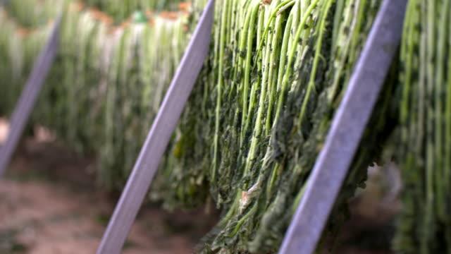 vídeos y material grabado en eventos de stock de 'siraegi' (dried radish leaves) swaying in the wind - cuerda de tender la ropa
