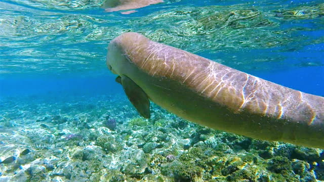 sirenia calf / dugong baby in red sea near by  marsa alam - egypt - lamantino video stock e b–roll