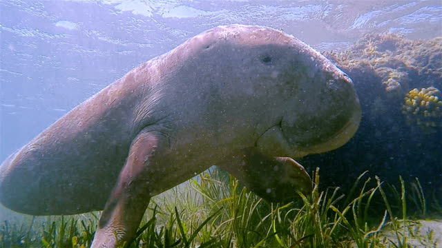 sirenia calf / dugong baby in red sea near marsa alam - egypt - lamantino video stock e b–roll