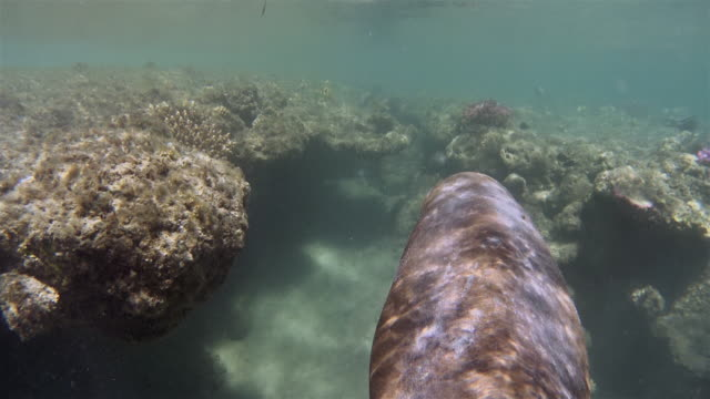 sirenia calf / dugong baby in red sea near marsa alam - dugong stock videos & royalty-free footage