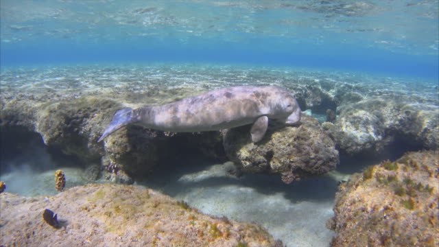 sirenia calf / dugong in red sea near marsa alam / egypt - dugong stock videos & royalty-free footage