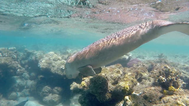 sirenia calf / dugong in red sea near marsa alam - dugong stock videos & royalty-free footage