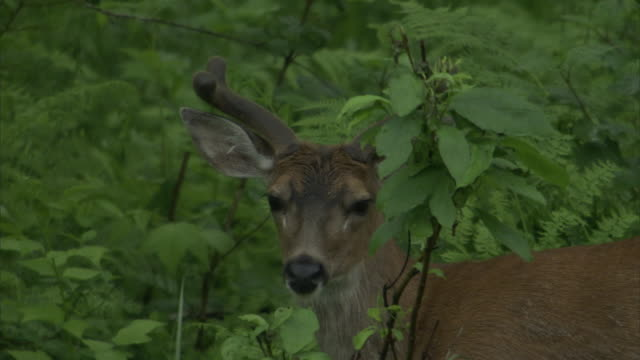 a sitka deer stands beneath a leafy tree and grazes. - 枝角点の映像素材/bロール