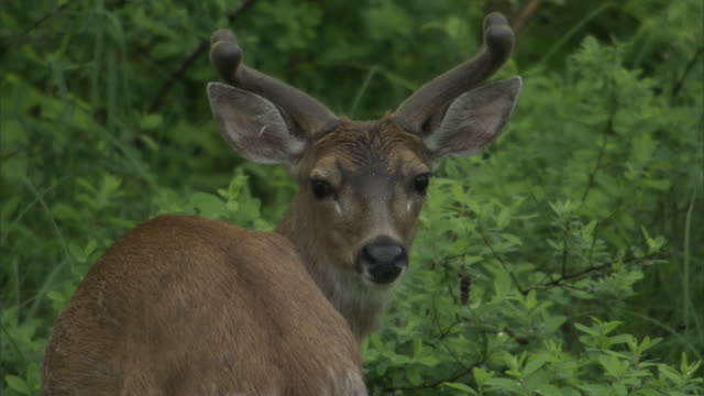 a sitka deer stands in a thicket and watches before walking away. - 枝角点の映像素材/bロール