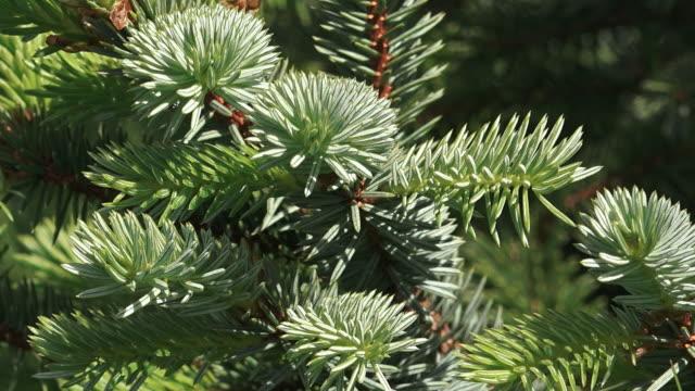 Sitka Spruce branches, Kodiak, Alaska