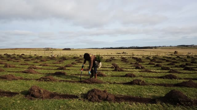 sitka spruce is planted at the north doddington site on march 22, 2018 in doddington, england. the doddington north afforestation project has begun... - planting stock videos & royalty-free footage