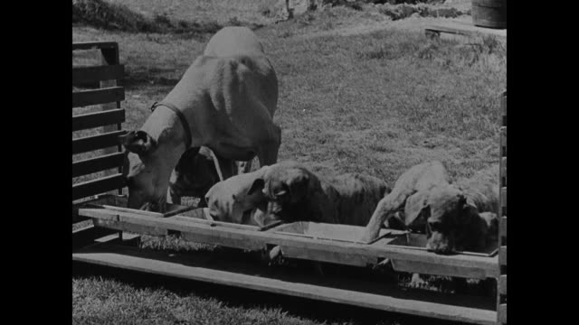 dogs sitting airedale terrier dog cocks head like trying to understand great dane dog female eating w/ litter in outside trough cu two great dane... - 1937 stock videos and b-roll footage