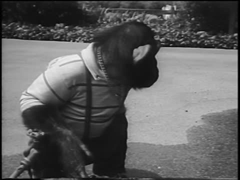 b/w 1956 sitting chimpanzee with shirt + jeans turning + spitting on driveway / newsreel - 1956 stock-videos und b-roll-filmmaterial