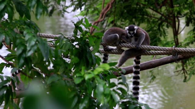 vidéos et rushes de lémurien salon - animaux en captivité