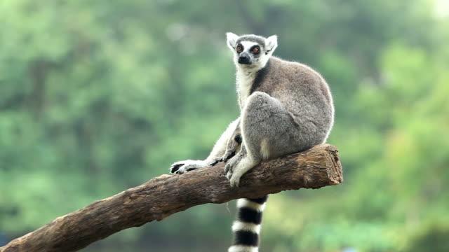 sitting lemur - staring stock videos & royalty-free footage