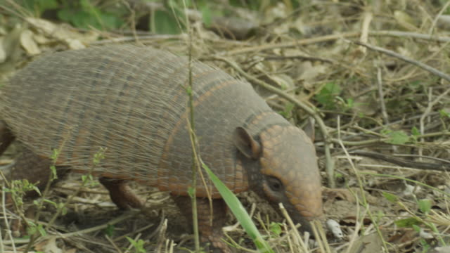 Six banded armadillo (Euphractus sexcinctus) walks through undergrowth and sniffs air.