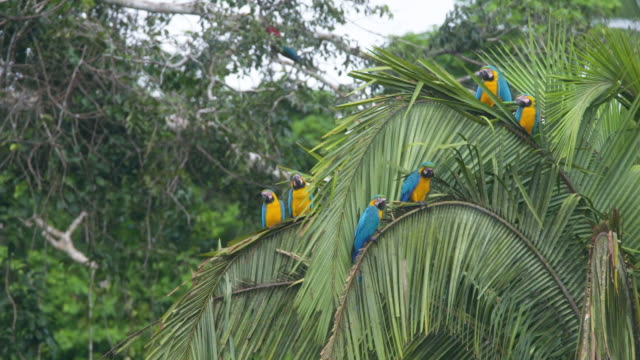 six blue-and-gold macaws in palm tree, highspeed - panamá video stock e b–roll