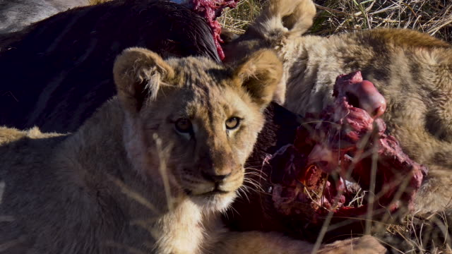 Six clips of two lion cubs playfully eating the freshly killed wildebeest their mother lion recently killed in the bush of South Africa for the pride.