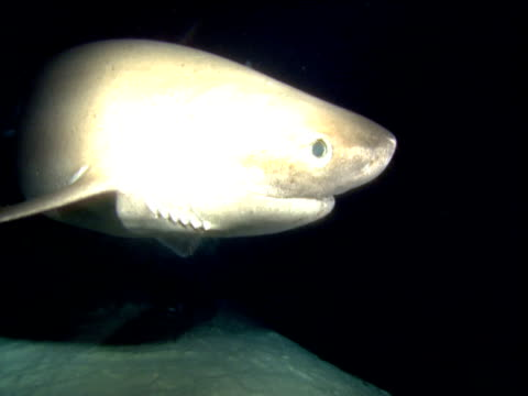 six gill shark bumps its nose on camera, cayman islands - gill stock videos & royalty-free footage