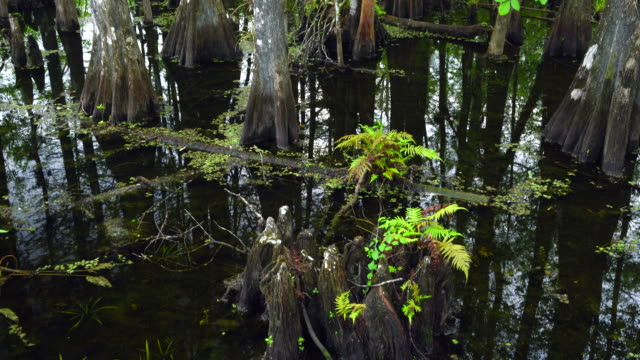 stockvideo's en b-roll-footage met bald cypress (taxodium distichum), six mile cypress slough preserve, fort myers, florida, usa, america - fort myers