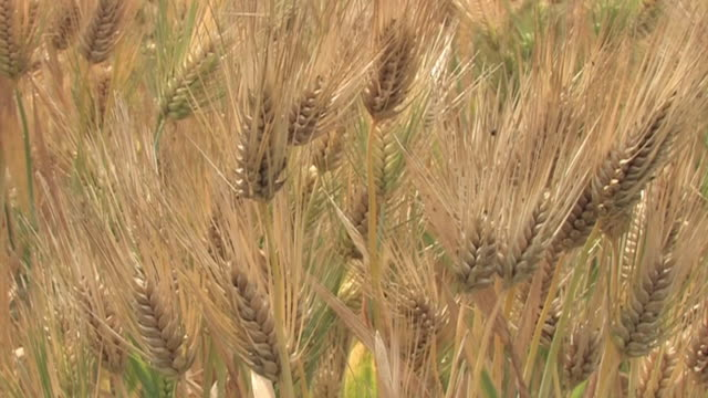vídeos de stock e filmes b-roll de cu, six-row barley field, saitama, japan - agrafo