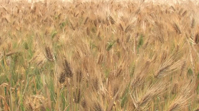 vídeos de stock e filmes b-roll de six-row barley field, saitama, japan - agrafo