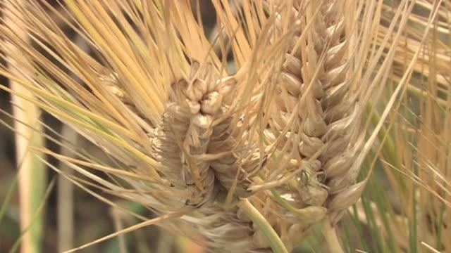 cu, six-row barleys, saitama, japan - ホッチキス点の映像素材/bロール