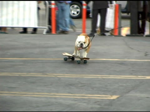 skateboarding dog at the 'lords of dogtown' world premiere on may 24 2005 - 働く動物点の映像素材/bロール