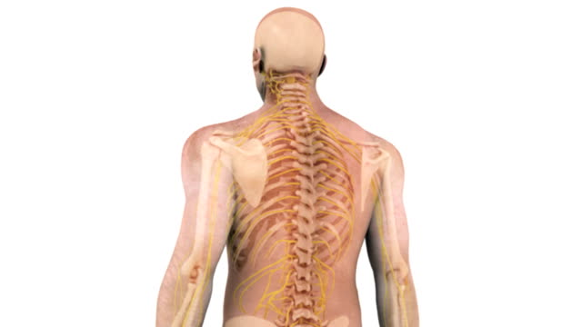 a skeletal male torso revolves 180 degrees then some thoracic vertebrae are zoomed out of the body as it dissolves.  the vertebrae, with spinal chord and nerves are rotated 180 degrees.  then the came - human vertebra stock videos & royalty-free footage