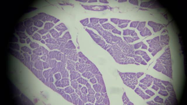 skelettmuskulatur querschnitt in der mikroskopie - anatomie stock-videos und b-roll-filmmaterial