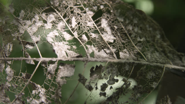 skeletal remains of dead leaf in forest, costa rica - decay stock videos & royalty-free footage
