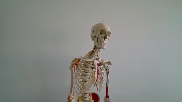 skeleton. dummy. visual aid for studying medicine. real size. numbered bones. - tendon stock videos & royalty-free footage