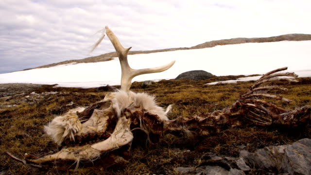 a skeleton of a dead reindeer in arctic landscape - dead animal stock videos & royalty-free footage