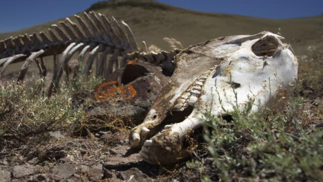 skeleton of animal in wild - skull stock videos & royalty-free footage