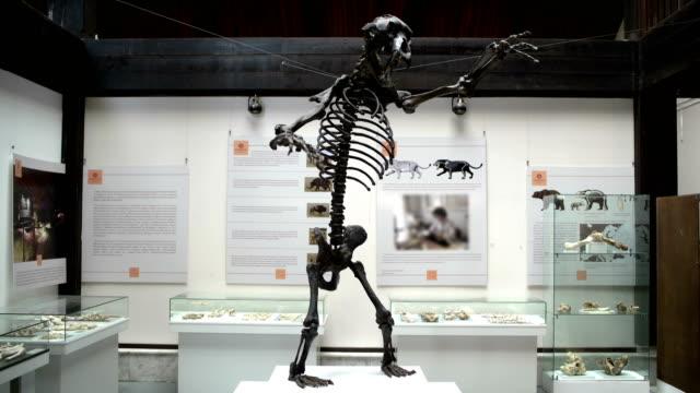 scheletro dell'orso preistorico nel museo - museo video stock e b–roll
