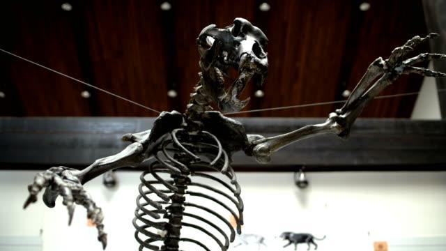 skeleton of the prehistoric bear,close up - animal skeleton stock videos & royalty-free footage