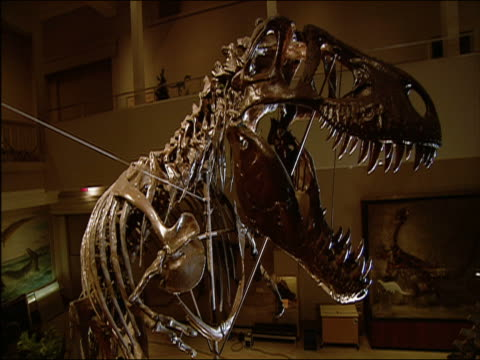 skeleton of tyrannosaurus discovered in hell creek, montana, in 1902 which led to classification of species on display at carnegie museum of natural history / dolly in to skull / pittsburgh, pennsylvania - bone stock videos & royalty-free footage