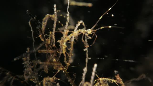 skeleton shrimps hunting undersea - skeleton shrimp stock videos and b-roll footage