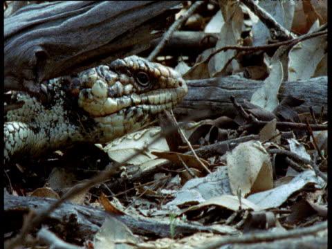 skink walks through undergrowth, new south wales - tierhaut stock-videos und b-roll-filmmaterial