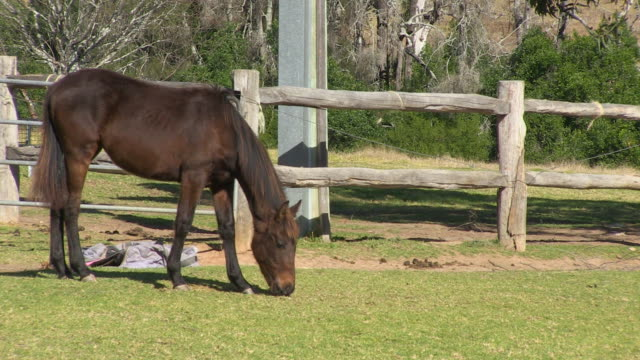 Skinny brown horse eating on a ranch