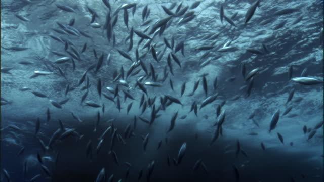 Skipjack tuna (Katsuwonus pelamis) shoal near fishing boat, Solomon Islands