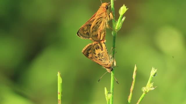 skipper butterfly (potanthus flavus) mating - gliedmaßen körperteile stock-videos und b-roll-filmmaterial
