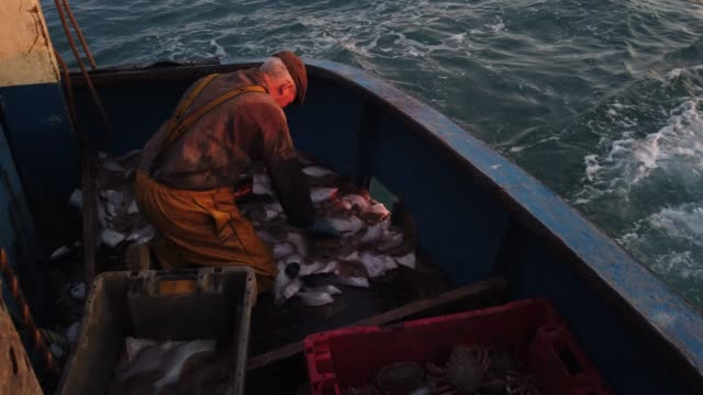 skipper stuart hamilton, works through a catch while fishing for flatfish such as skate and dover sole in the english channel from a hastings fishing... - fish stock videos & royalty-free footage