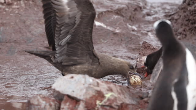 Skua steals Gentoo Penguin egg from nest