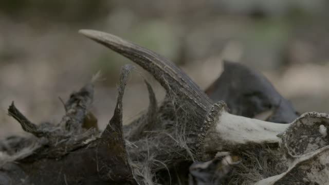 skull and antler on forest floor - antler stock videos & royalty-free footage