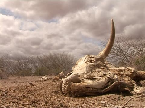skull of a cow that has died in the drought kenya - east africa stock videos & royalty-free footage
