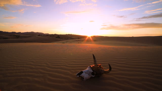 skull of an animal in the sand desert at sunset. - cactus sunset stock videos & royalty-free footage
